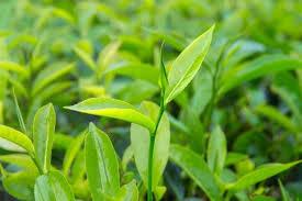 L'HE de TEA TREE (Melaleuca alternifolia)